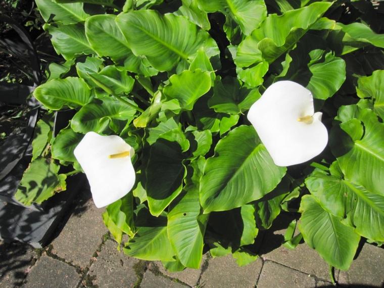 Arum Lilies SBA 1