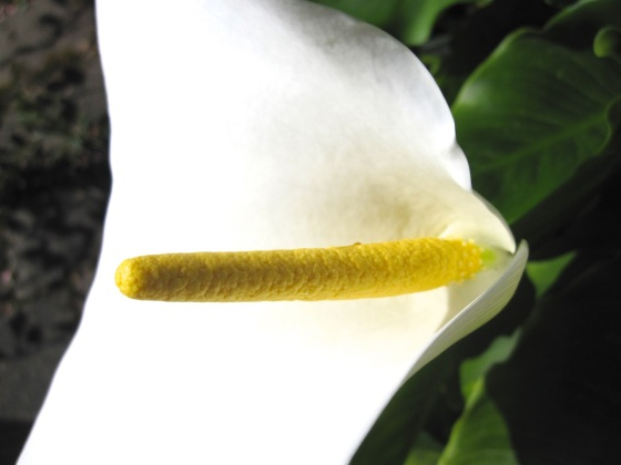 Arum Lilies SBA 4