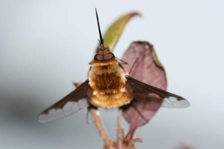 Bee Fly Bombylius maj NHM