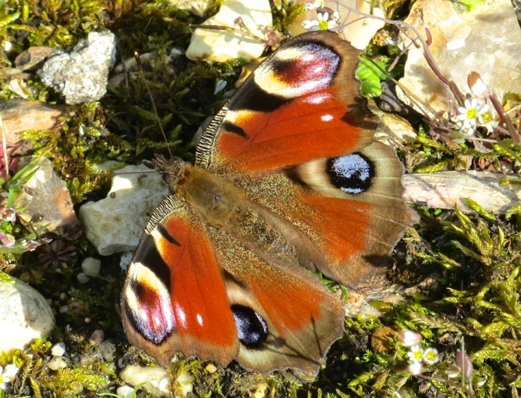 Peacock Butterfly, Dorset