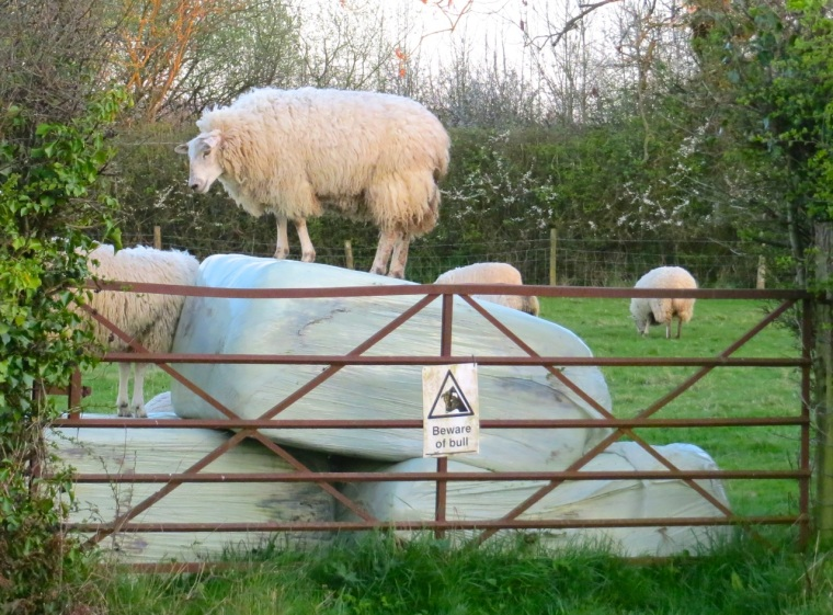 Sheep climbing bales Totnell 14