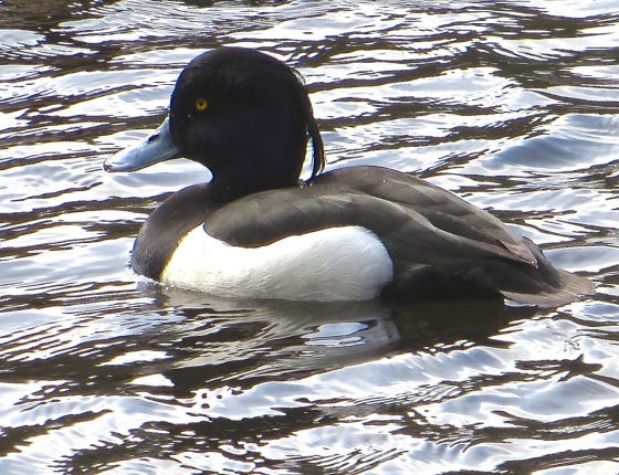 Tufted Duck Wimbledon Common 3
