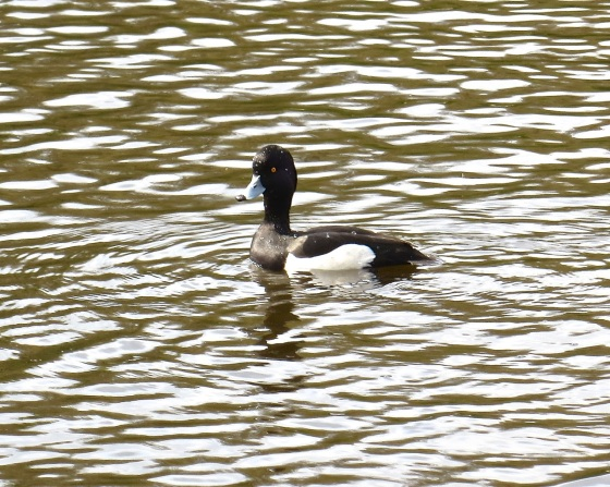Tufted Duck Wimbledon Common 4