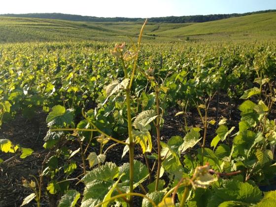 Champagne Vineyards above Cumières 6