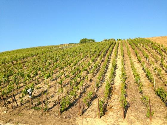 Champagne Vineyards above Cumières 8