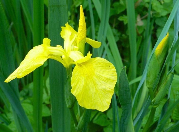 Yellow Iris 1