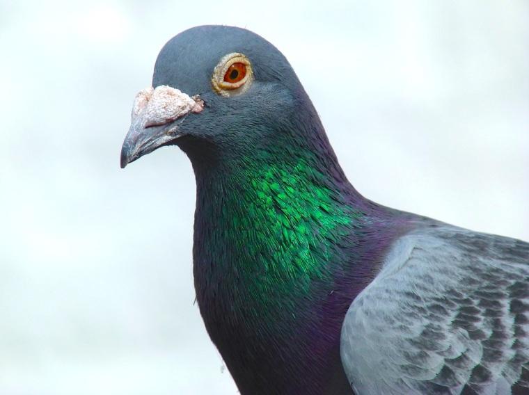 Homing Pigeon Dorset 2