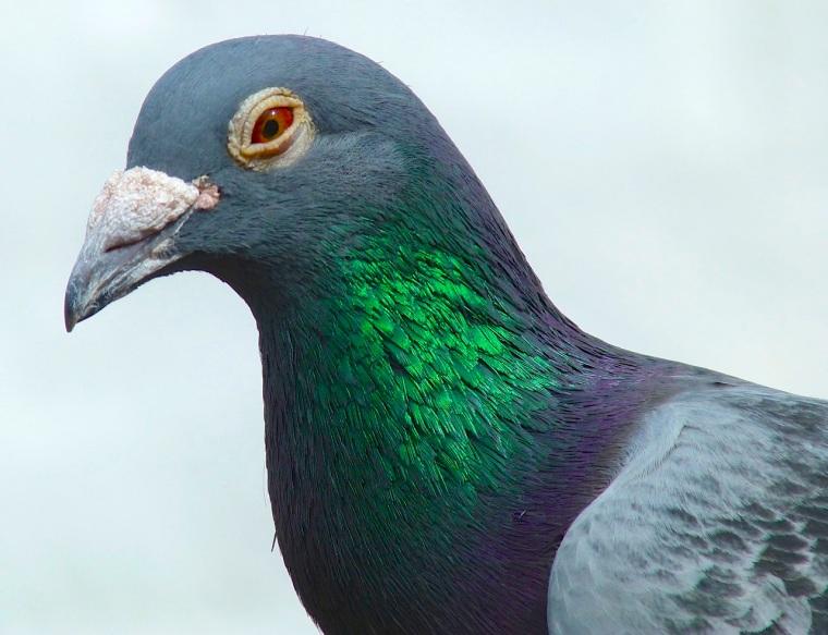 Homing Pigeon Dorset 3
