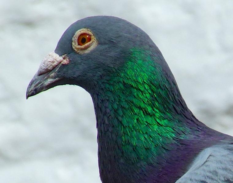 Homing Pigeon Dorset 4