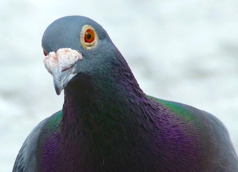 Homing Pigeon Dorset 5