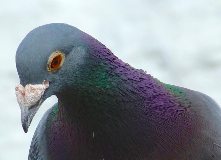 Homing Pigeon Dorset 6