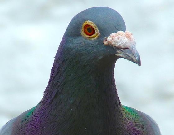 Homing Pigeon Dorset 7