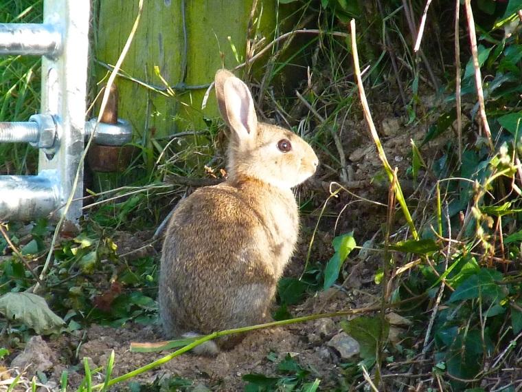 Rabbit, Totnell, Dorset 1