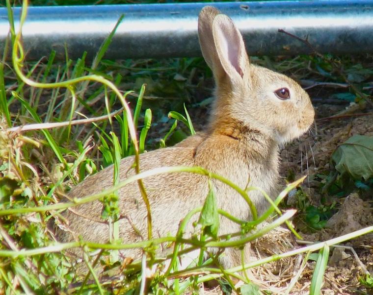 Rabbit, Totnell, Dorset 10