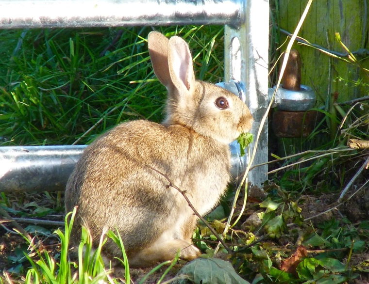 Rabbit, Totnell, Dorset 4