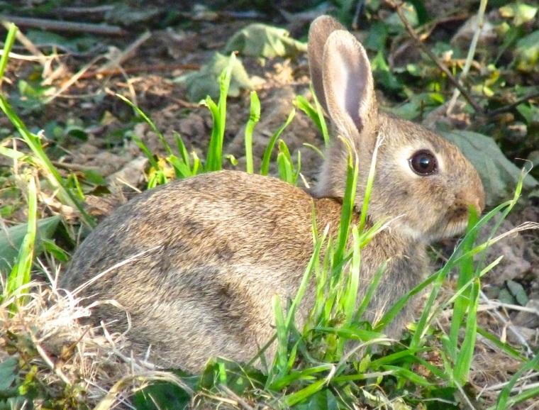 Rabbit, Totnell, Dorset 7