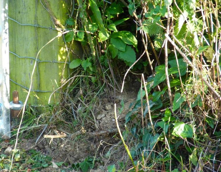 Rabbit, Totnell, Dorset 9