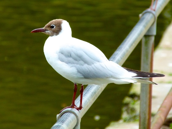 Black-headed Gull, Cornwall 1