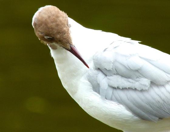 Black-headed Gull, Cornwall 3