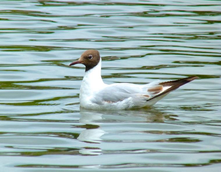 Black-headed Gull, Cornwall1