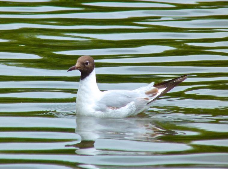 Black-headed Gull, Cornwall2
