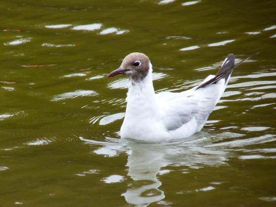 Black-headed Gulls, Cornwall 1