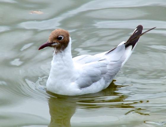 Black-headed Gulls, Cornwall 2