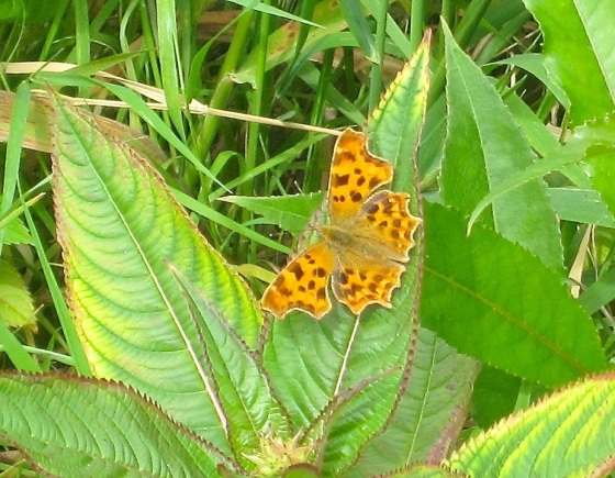 Comma Butterfly, River Frome, Dorset1