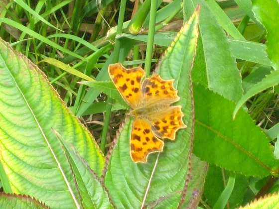 Comma Butterfly, River Frome, Dorset2