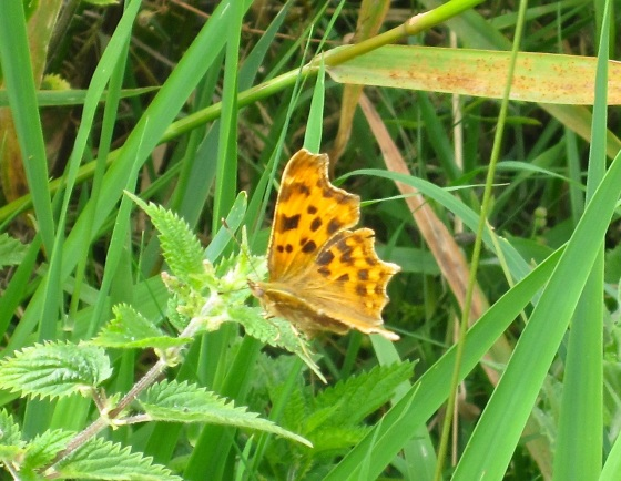 Comma Butterfly, River Frome, Dorset3