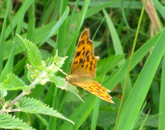 Comma Butterfly, River Frome, Dorset4