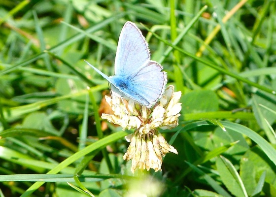 Common Blue Butterfly, Dorset 1
