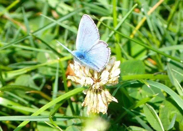 Common Blue Butterfly, Dorset 1