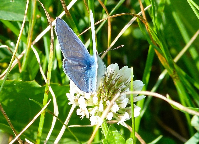 Common Blue Butterfly, Dorset 2
