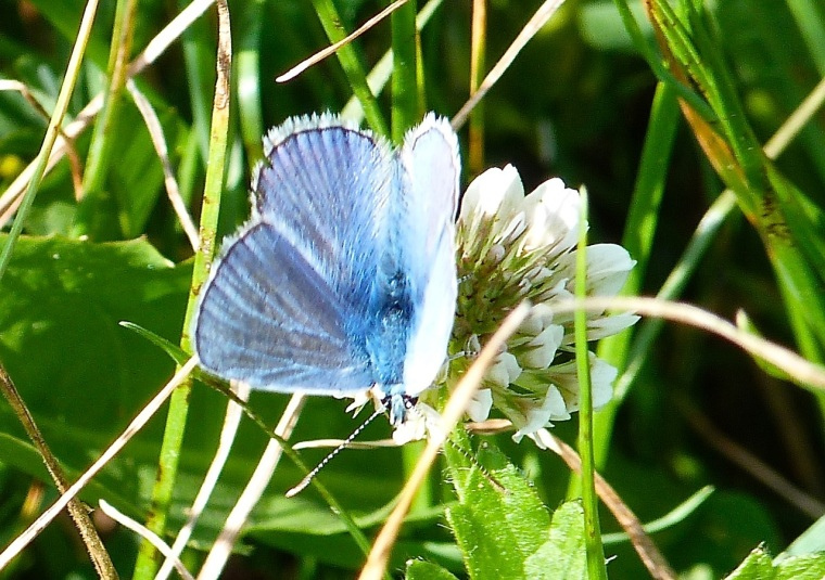 Common Blue Butterfly, Dorset 3