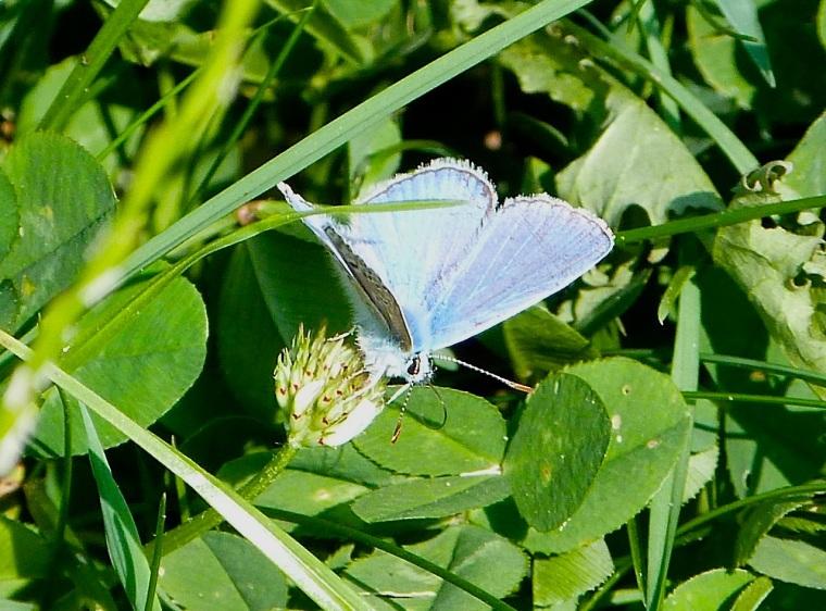 Common Blue Butterfly, Dorset 4