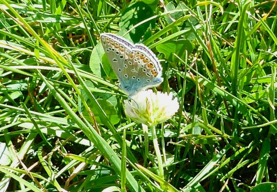 Common Blue Butterfly, Dorset 5
