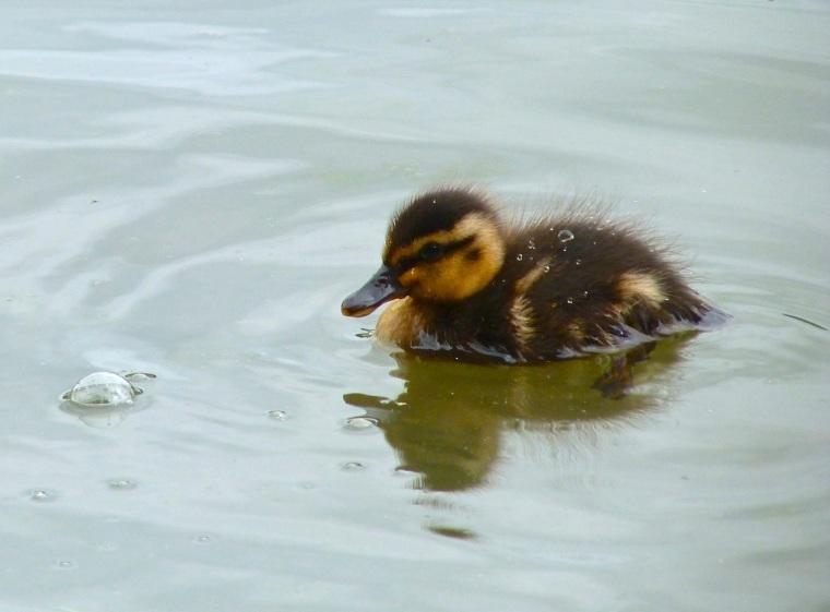 Ducklings in Cornwall 1
