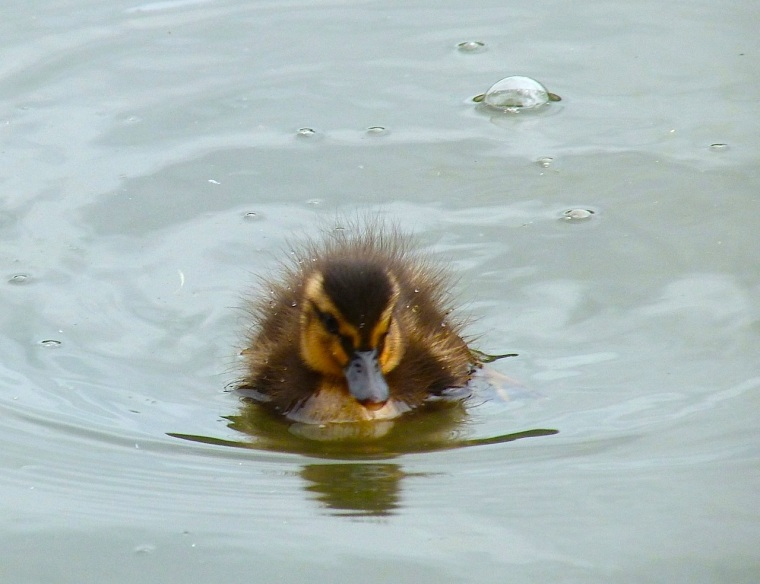 Ducklings in Cornwall 2
