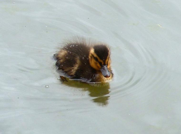 Ducklings in Cornwall 3