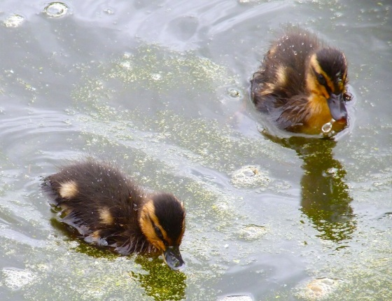 Ducklings in Cornwall 5
