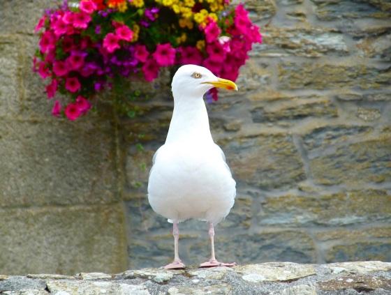 Herring Gull Porthleven Cornwall 1