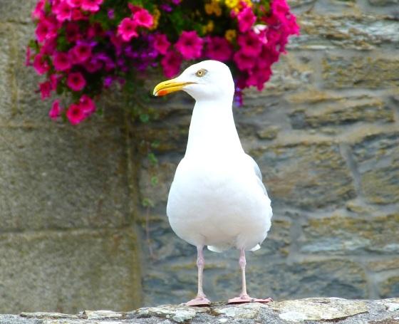 Herring Gull Porthleven Cornwall 2