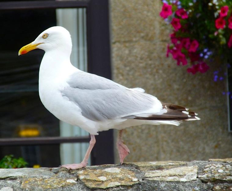 Herring Gull Porthleven Cornwall 3