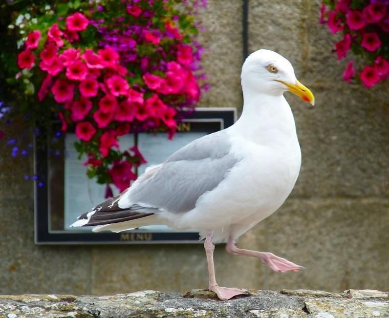 Herring Gull Porthleven Cornwall 4