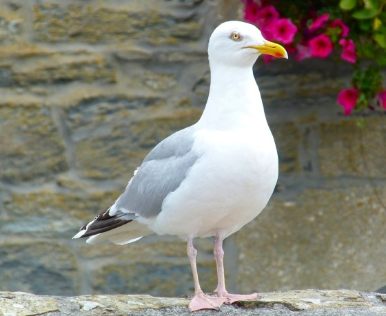 Herring Gull Porthleven Cornwall 5