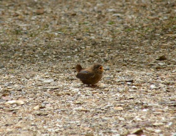 Wren Fledgling, Dorset 3