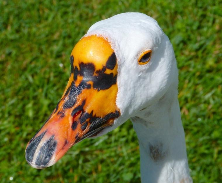Goose Mystery Bidford 1