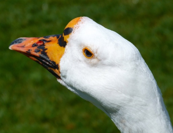 Goose Mystery Bidford 2