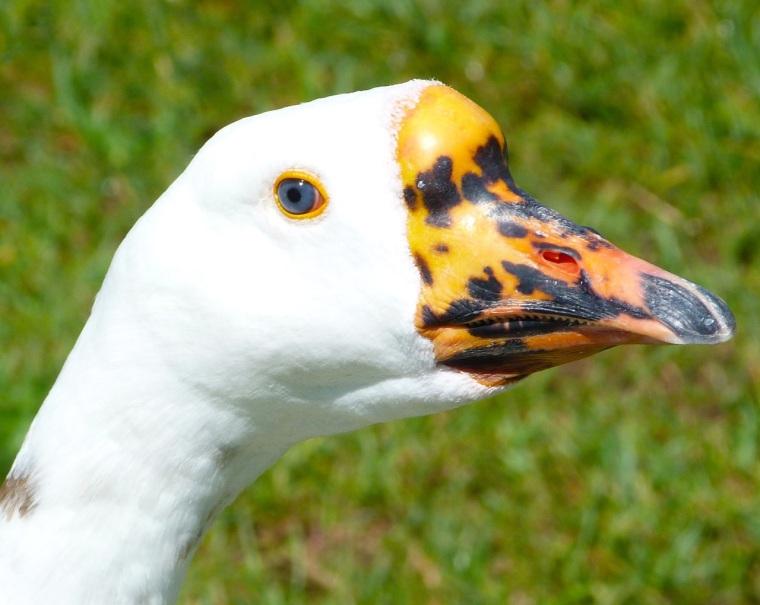 Goose Mystery Bidford 3